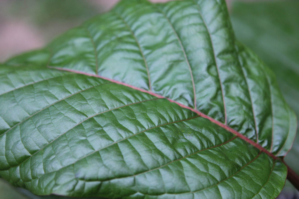 Close up image of a kratom leaf.
