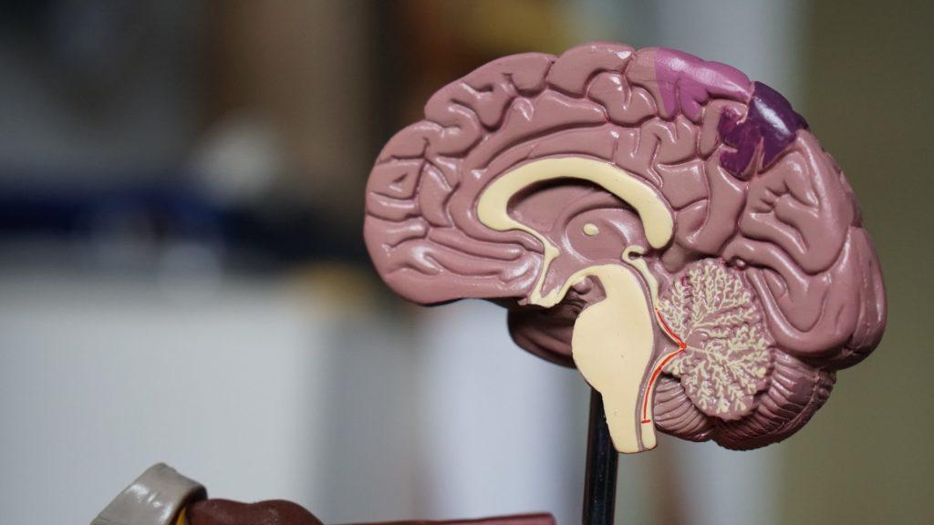 Half of a brain model.